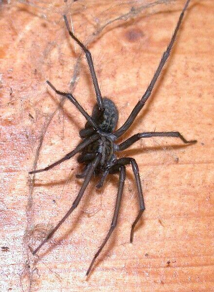 gefährlich spinnen in deutschland